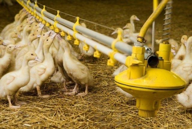 Duck Watering_A4X9453